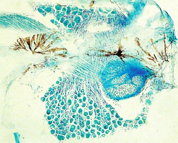 Chromatophores_ganglion_Dicentrarchus-labrax-(European-seabass)